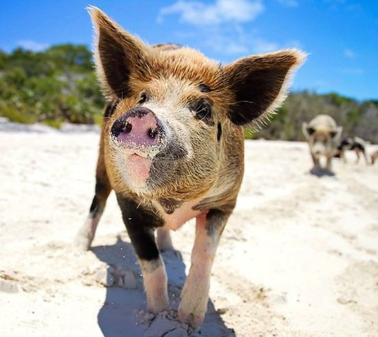 Pigs on Beach in the Bahamas